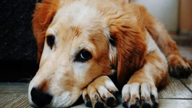 Photo of Top Signs That You Need to Use Anti-Inflammatory for Dogs