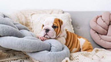 Photo of Where to Find the Best English Bulldog Puppies for Sale